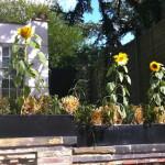 Sunflowers in London